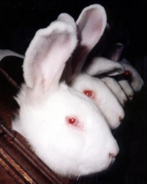 Rabbits are shackled at this cosmetics laboratory in order to have toxic solutions inserted into their eyes - photo courtesy of Brian Gunn / IAAPEA