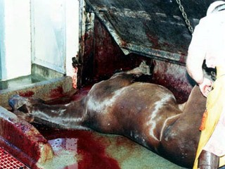 A horse suffers at the slaughter house